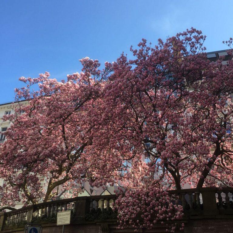 Magnolia soulangeana in der Langestrasse