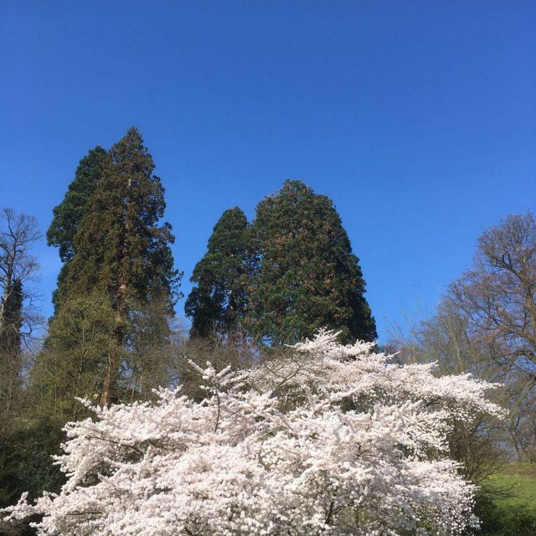 Kirschblüte in Baden-Baden zwischen Kurhaus und Trinkhalle